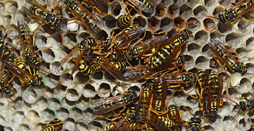 Wasp Nest Removal Nottinghamshire